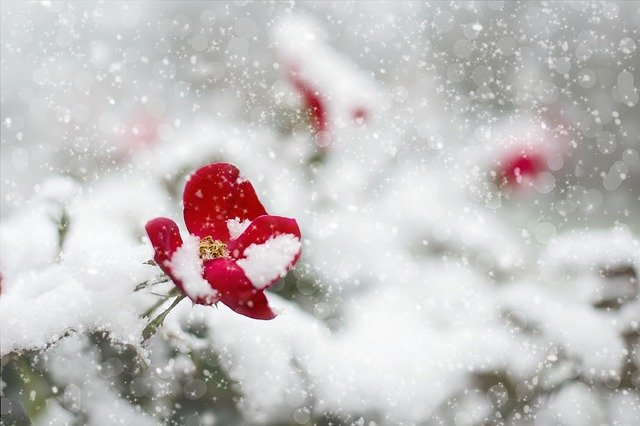 Red_Rose_Flowers_in_the_Snow